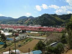 涅槃堂から見た桜